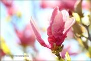 d100_208227_magnolia_fb