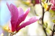 d100_208234_magnolie_fb