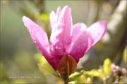d100_208236_magnolie_fb