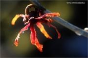 d600_137201_zaubernuss_fb.jpg