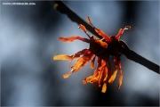 d600_137219_zaubernuss_fb.jpg