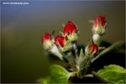 m3_115825_apfelbluete_fb.jpg