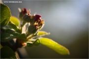 m3_115844_apfelbluete_fb.jpg
