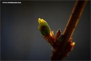 m3_128765_forsythie_fb.jpg