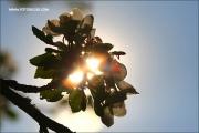 m3_168550_apfelbluete_fb