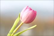 1_m5_192959_tulpe_fb