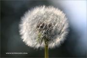 1_m5_193335_pusteblume_fb