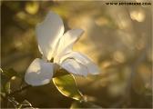 c20_515569_magnolie.jpg