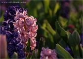 c20_515601_hyacinthe.jpg