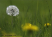 c20_518591_pusteblume_fc.jpg