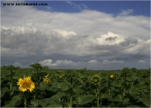 c20_531461_sonnenblume_fc.jpg