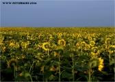 c20_533865_sonnenblumen_fb.jpg