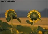 c20_533888_sonnenblume_fb.jpg