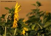 c20_533890_sonnenblume_fb_2.jpg