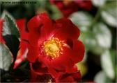c20_544909_roteblume_fb.jpg