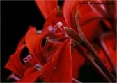 c20_544945_geranie_fb.jpg