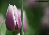 c20_632248_tulpe_fb.jpg