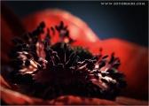 c20_633127_anemone_fb.jpg