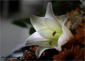 c20_635982_lilie_fb.jpg
