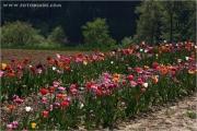 c20_641099_tulpe_fb.jpg