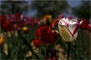 c20_641131_tulpe_fb.jpg