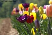 c20_641163_tulpen_fb.jpg