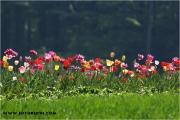 c20_641327_tulpen_fb.jpg