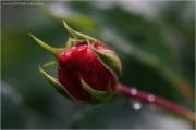c21_615841_rose_fb.jpg