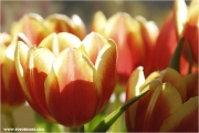 c21_717512_tulpe_fb.jpg