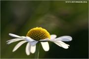 c21_723415_margerite_fb.jpg