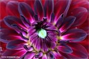 d100_147682_dahlien_fb.jpg