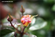 d100_156979_rose_fb