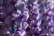 d100_160942_blauregen_fb