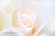 d100_162929_rose_fb