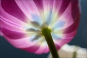 d100_167390_tulpe_fb