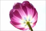 d100_167422_tulpe_fb