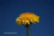 d100_208301_mutterblume_fb