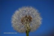 d100_208322_butterblume_fb