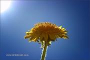 d100_208344_butterblume_fb