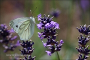 d100_209848_schmetterling_fb