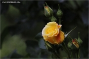 d600_110545_rose_fb.jpg