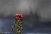 d600_145573_rose-gewitter_fb.jpg
