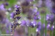 m3_083479_lavendel_fb.jpg