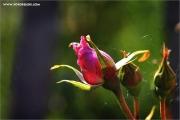 m3_101717_rose_fb.jpg