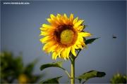 m3_102635_sonnenblume_fb.jpg