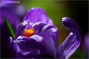 m3_104671_krokuss_fb.jpg