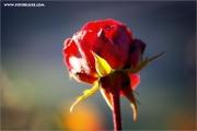 m3_108756_rose_fb.jpg