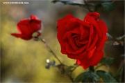m3_114906_rose_fb.jpg