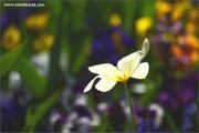 m3_114993_tulpe_fb.jpg
