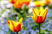 m3_115912_tulpe_fb.jpg